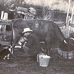 A farmer milking a cow aimed at a cat, Rudder Grange, Fairfield