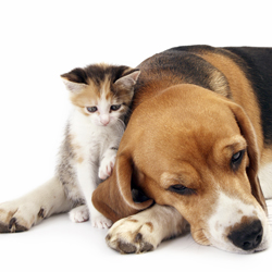 beagle and a cat